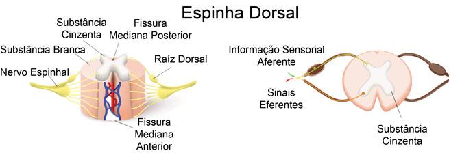 Espinha Dorsal