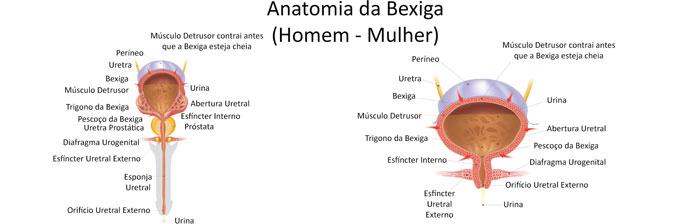 Anatomia da Bexiga
