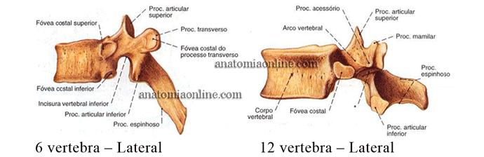 coluna-vertebral-6