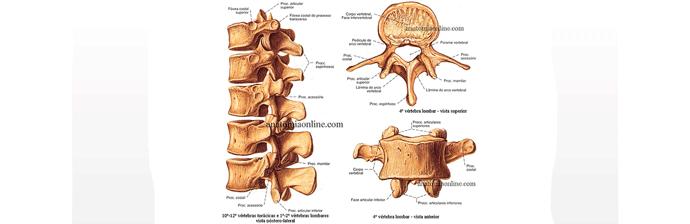 coluna-vertebral-7