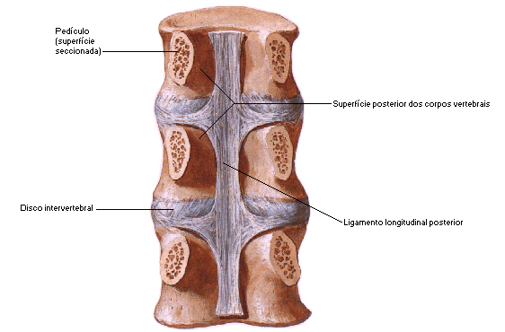 coluna-vertebral-14