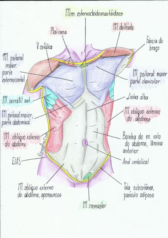 músculos-abdominais-4