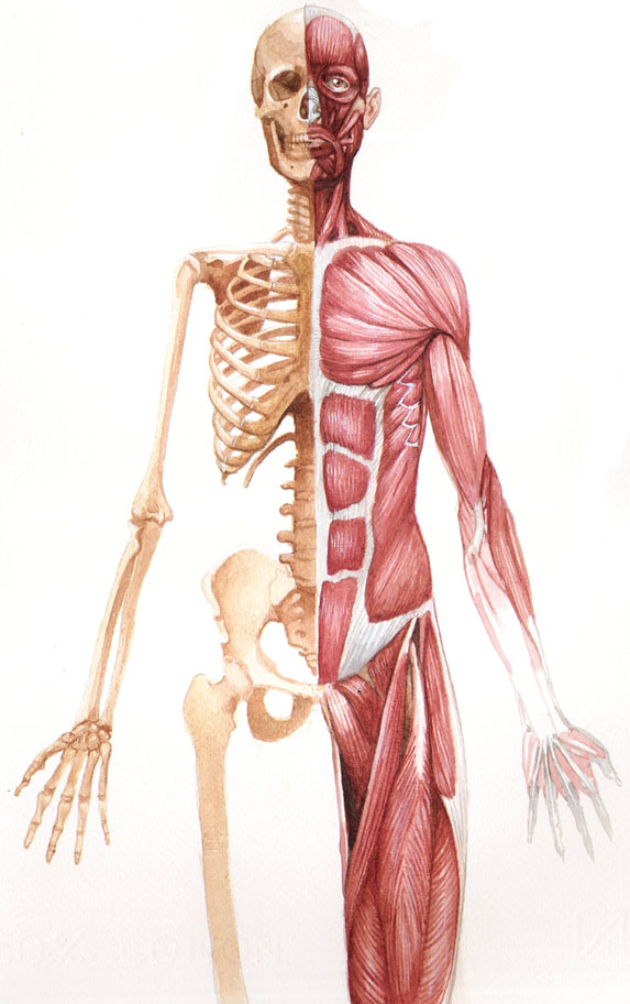 músculo-corpo-humano-core