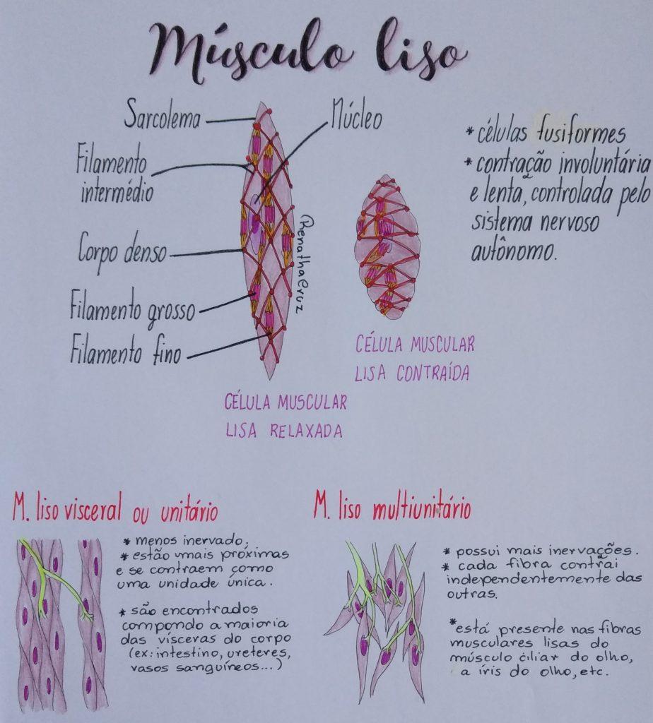 músculo-liso-anatomia